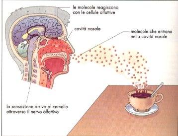 Science for passion il profumo dei ricordi il meccanismo for Interno del naso